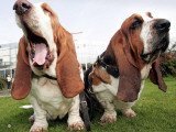 Bassethounds Pose in Dortmund  Germany