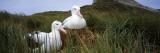 Wandering Albatross Mated Pair in a Nest  Bird Island  South Georgia Island
