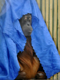 Orang-Utang Daisy is Covered with Sheet  Sleeping in Her Enclosure in Zoological Garden in Dresden