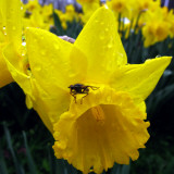 Daffodil Stands in the Rain in Duesseldorf  Germany
