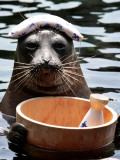 Male Baikal Seal Billy Performs a Dip in Hot Spring  Holding a Sake Bottle at an Aquarium in Hakone