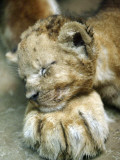 Lion Cub Lays His Head on the Paw of His Mother at Prigen Safari Park in Pasuruan, Indonesia Papier Photo