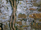 Ivy Bough on Old Wall  Co Waterford  Ireland