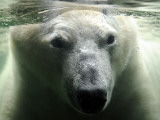 Polar Bear is Pictured under Water at the Zoo in Gelsenkirchen
