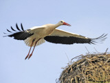 Stork Approaches its Nest in Holzen