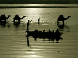 Indian Farmers Carry Watermelon across the River Ganges on their Camels in Allahabad  India