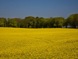 Field of Oil Seed Rape  Near Carrickmacross  County Monaghan  Ireland