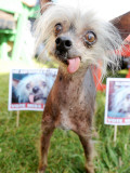 Miss Ellie Competes in World's Ugliest Dog Contest at Sonoma-Marin Fair in Petaluma  California