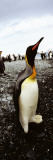 King Penguins on the Coast  Salisbury Plain  South Georgia Island