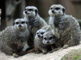 Slender-Tailed Meerkats Snuggle Against Each Other for Warmth in the Zoo in Hanover
