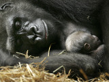 Western Lowland Gorilla  Cradles Her 3-Day Old Baby at the Franklin Park Zoo in Boston