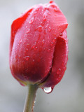 Raindrops on Tulips in Glottertal  Southern Germany