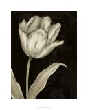 Classical Tulip I