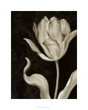 Classical Tulip II