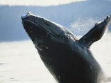 Whale Breaching  Leconte Glacier  Alaska  USA