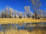 Reflections of Trees and Rushes in River  Bear River  Evanston  Wyoming  USA