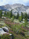 Wildflowers on Patterson Peak  Challis National Forest  Sawtooth Recreation Area  Idaho  USA