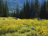 Wildflowers and Trees  Wasatch-Cache National Forest  Utah  USA