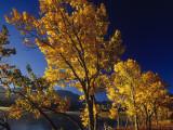 Autumn Cottonwoods Along St Mary Lake in Glacier National Park  Montana  USA