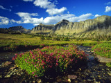 Monkeyflowers at Logan Pass in Glacier National Park  Montana  USA