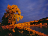 Large Cottonwood Catches Morning Light on the Missouri River  Montana  USA
