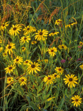 Black Eyed Susans Wildflowers  Neil Smith Nwr  Iowa  USA