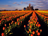 Commercial Tulip Field in the Skagit Valley  Washington  USA