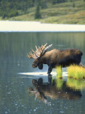 Bull Moose Wading in Tundra Pond  Denali National Park  Alaska  USA