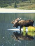 Bull Moose Wading in Tundra Pond  Denali National Park  Alaska  USA