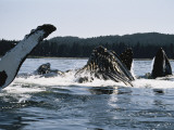 Humpback Whales  Frederick Sound  Alaska  USA