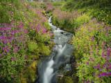 Pink Monkey Flowers Growing Along Stream  Mount Rainier National Park  Washington  USA