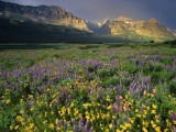 Prairie Wildflowers Near Lake Sherburne  Many Glacier Valley  Glacier National Park  Montana  USA