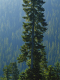Old-Growth Forest Above Chinook Creek  Mount Rainier National Park  Washington  USA