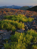 Arnica and Broken Rocks on Ridge Near Mount Isabel  Bridger National Forest  Wyoming  USA