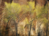 View of Cottonwoods and Canyon Wall in Spring  Glen Canyon National Recreation Area  Utah  USA