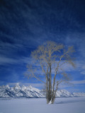 Bare Tree in Snowy Landscape  Grand Teton National Park  Wyoming  USA