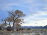 Cottonwood Trees in Arid Landscape  Grapevine Mountains  Nevada  USA