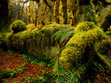 Hall of Mosses Trail in Hoh Rainforest in Olympic National Park  Washington  USA