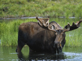 Bull Moose Standing in Tundra Pond  Denali National Park  Alaska  USA