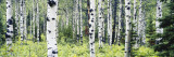 Alpine Forest of White Birch Trees  Glacier National Park  Montana  USA