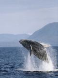 Humpback Whale Breaching, Inside Passage, Alaska, USA Papier Photo par Stuart Westmoreland