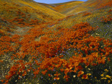 Poppies Growing on Valley  Antelope Valley  California  USA