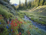 Wildflowers Along Chamberlain Creek  White Cloud Peaks  Sawtooth National Reservation Area  Idaho