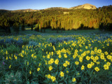 Wildflowers Near Lionshead Mountain  Gallatin National Forest  West Yellowstone  Montana  USA