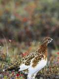 Willow Ptarmigan Amongst Tundra  Denali National Park  Alaska  USA