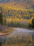 Larch Trees Reflect into Mcdonald Creek in Autumn in Glacier National Park  Montana  USA