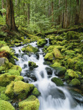 View of Creek in Old Growth Rainforest  Olympic National Park  Washington  USA