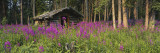 Abandoned Cabin and Fireweed  Ross River Area  Yukon  Canada