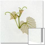 Spring Grape Leaf  View of Back Side