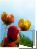 Tulips from a Low Angle